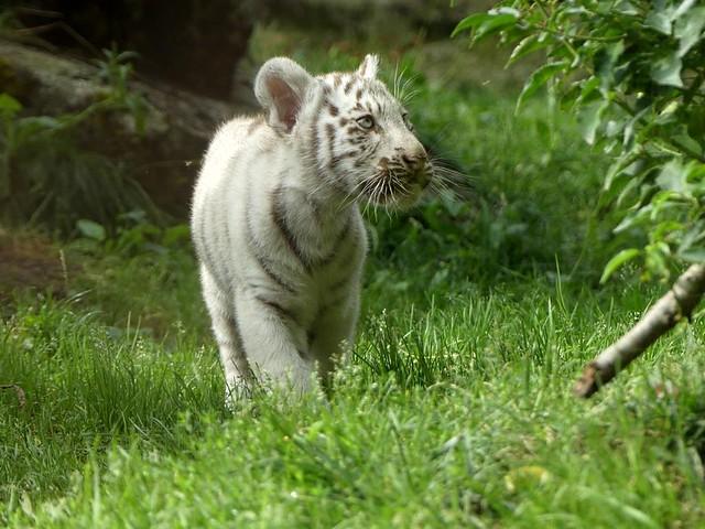 Weißer Tiger, Zoo d´Amneville