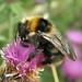 Bombus barbutellus (Barbut's Cuckoo-bee)