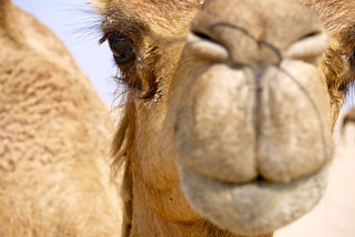 Camel, Dubai   by AndyH68