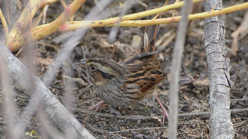 Swamp Sparrow | by Wildreturn