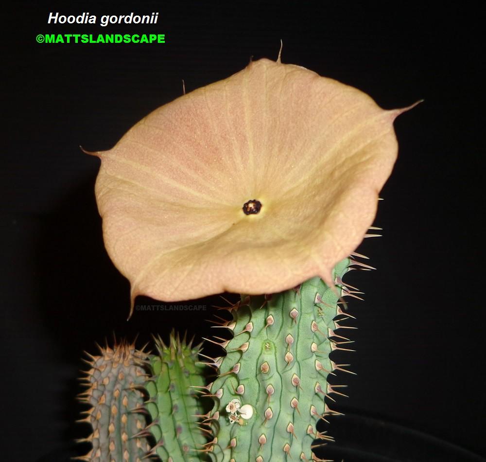 Hoodia Gordonii Bloom Pic 3 Succulent Species Hoodia Go Flickr