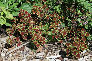 Watermelon Coleus (Solenostemon scutellarioides) | by Jim, the Photographer