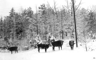 Cattle in the snow | by Mennonite Church USA Archives