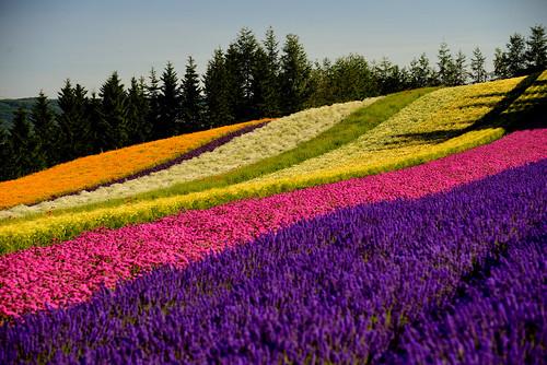 hokkaido summer furano lavenders 富田農場 farm tomato ファーム富田 北海道 富良野 薰衣草