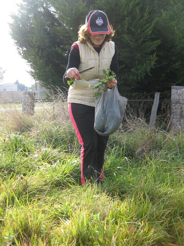 dandelion harvesting