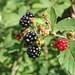 blackberry (Rubus fruticosis and relatives)