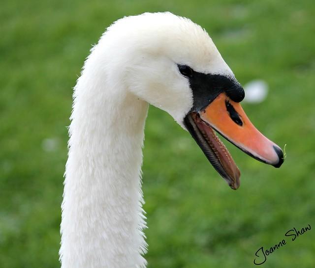 IMG_3029 Angry Swan