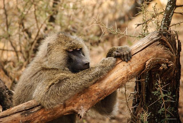 Tarangire National Park, Tanzania - Lazy Monkey