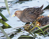 Australian Spotted Crake by boombana