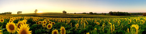 yellow sunflowers grinterfarms sunflower flowers lawrencekansas panorama nature kansas fieldofsunflowers hill sunset