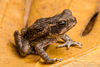 Cane Toad - Bufo marinus | by John P Clare