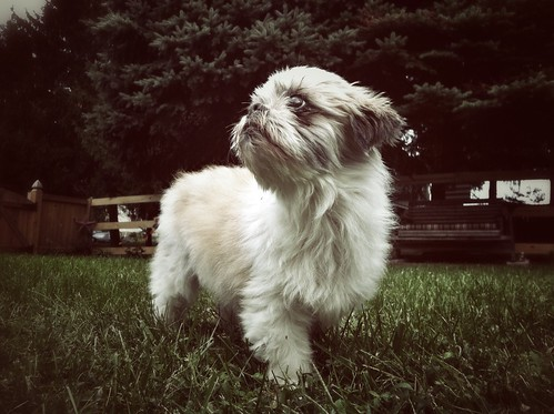 dog shihtzu snapseed