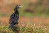 Little Cormorant by Jnarin