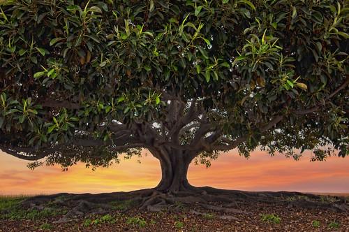 light sky orange sun tree green leaves sunrise giant shadows roots moretonbayfig ccl