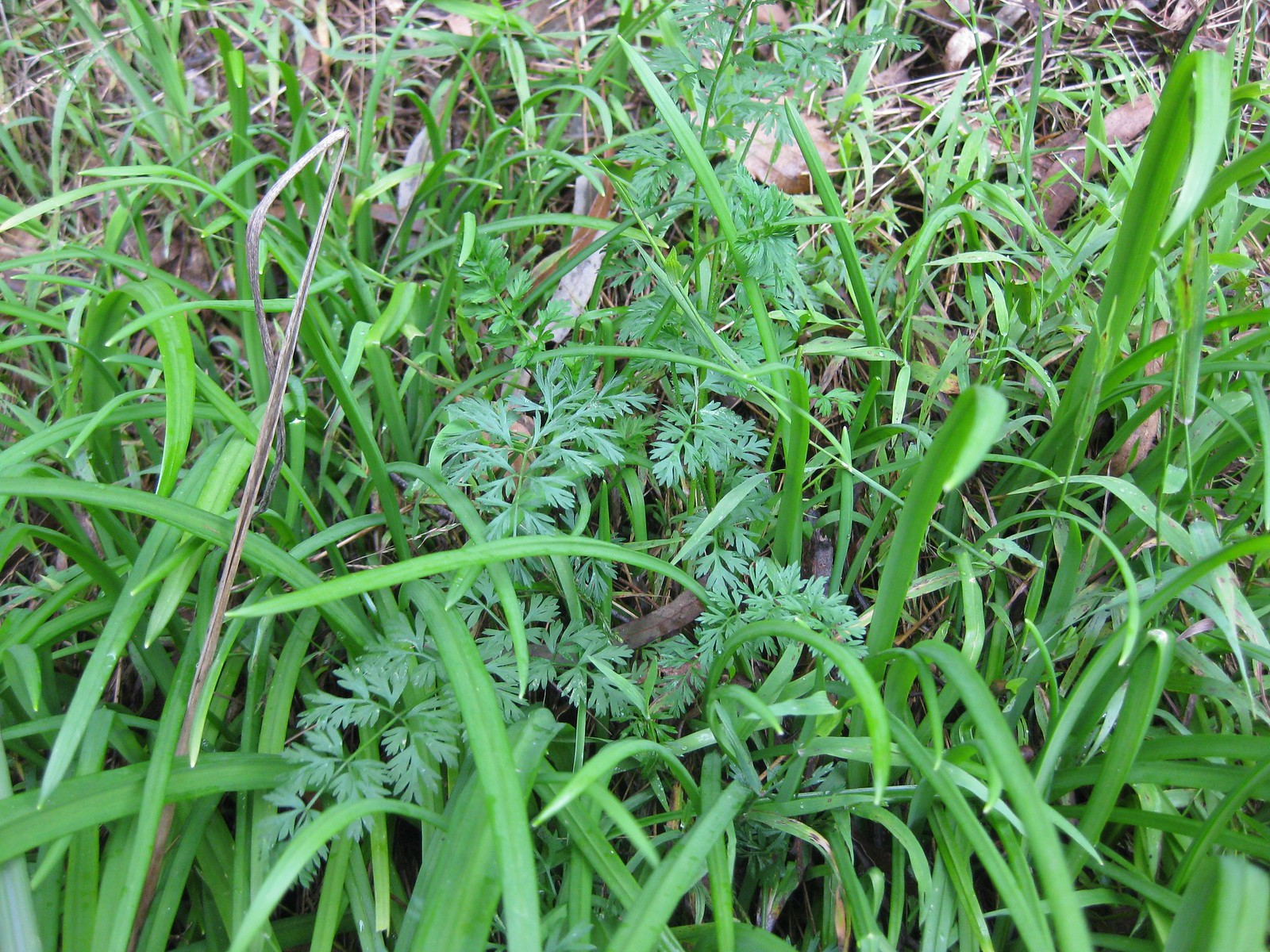 Queen Anne's lace AKA wild carrot (looks dangerously like poisonous hemlock!) and angled onion