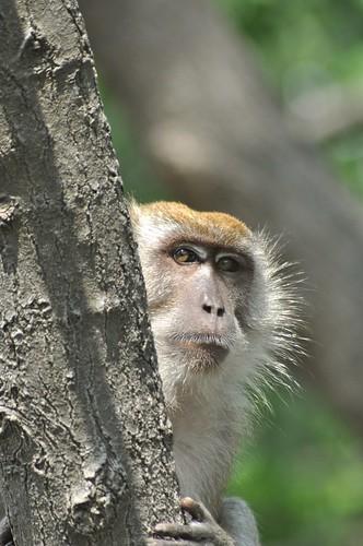 monkey johor muar westmalaysia