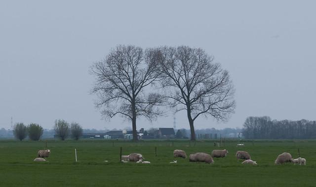 Poldergezicht met schapen en populieren tijdens het blauwe uur