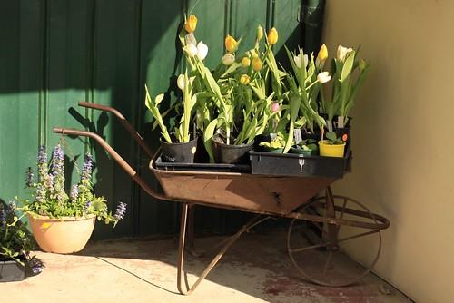 Wheelbarrow of Tulips