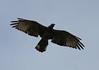 Crested Honey-buzzard in flight by Wild Chroma
