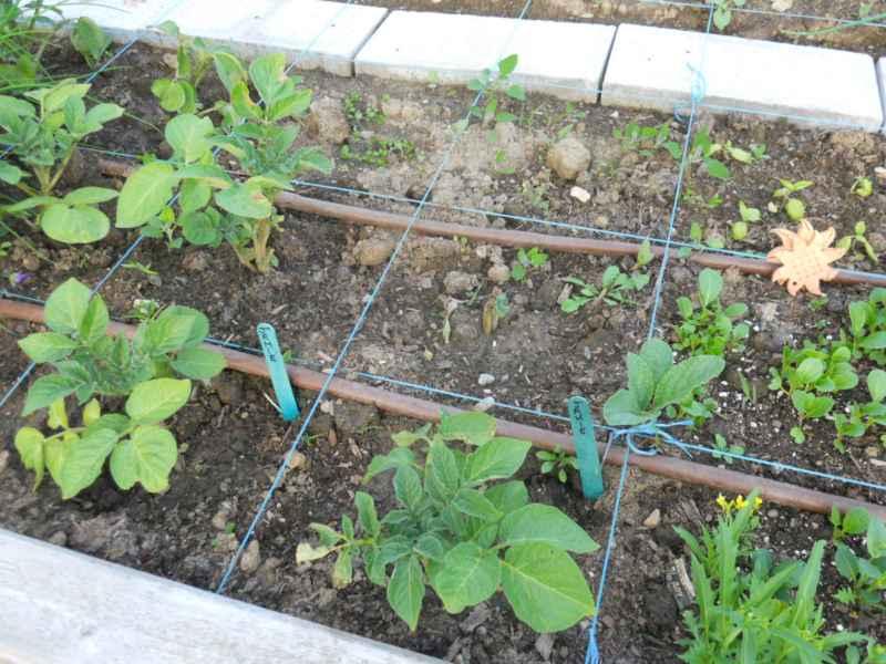 Community Garden Revelstoke Canada 6