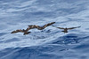 012016-IMG_6335 Matsudaira's Storm-Petrels (Oceanodroma matsudairae) by ajmatthehiddenhouse