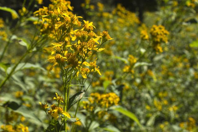 Verbesina occidentalis, Fall Creek Falls SP, Van Buren Co, TN