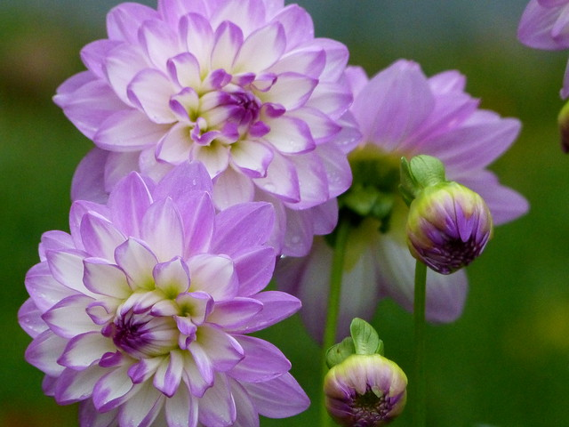 More dahlias - we may have a frost soon