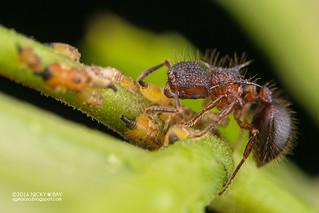 Ant (Meranoplus mucronatus) - DSC_8820