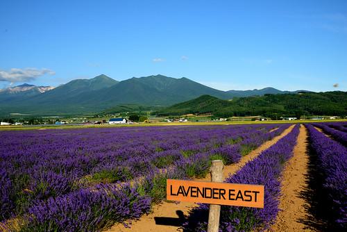 hokkaido summer furano lavenders 富田農場東 farm tomato ファーム富田 北海道 富良野 薰衣草