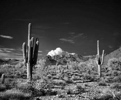 arizona cactus blackandwhite bw 120 film rollei cacti mediumformat landscape landmark infrared epson 6x7 scotsdale xtol filmphotography mamiya7 v750 80mmplanar ir400 mcdowellsonoranpreserve rg715 rolleiinfraredir400