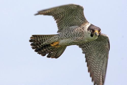 Peregrine Falcon (Falco peregrinus) | by sussexbirder