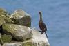 Red-faced Cormorant, St Paul Island, Aleutians West, Alaska by Terathopius