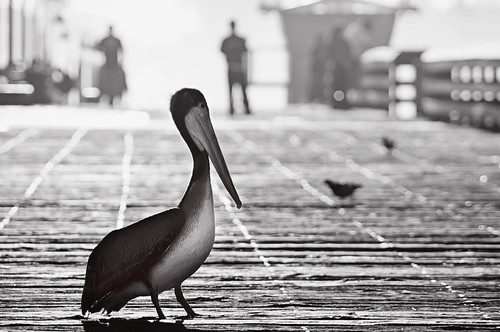 california morning blackandwhite bw monochrome pier fisherman bokeh pelican approved imperialbeach hss justaftersunrise eightdaysaweek pixelmama sliderssunday iblovinthispier
