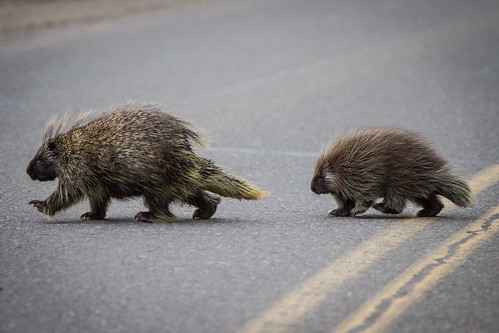 Two Porcupines | by DenaliNPS