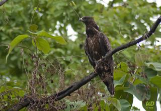 oriental honey buzzard - bird of nagpur city | by UDAYANdh