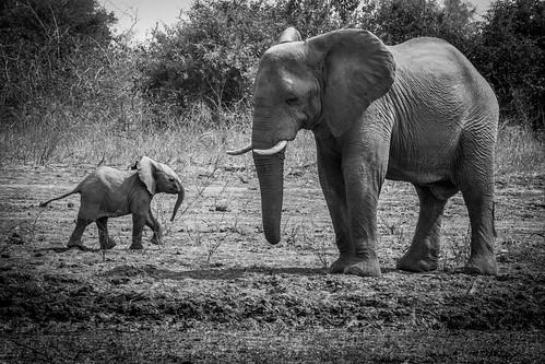 Elephants Relaxing - South Luangwa - Zambia | by virtualwayfarer