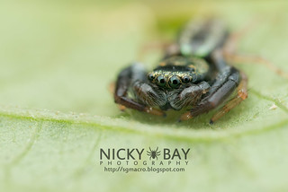 Jumping Spider (Thiania sp.) - DSC_5651