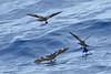 012016-IMG_6332 Matsudaira's Storm-Petrels (Oceanodroma matsudairae) by ajmatthehiddenhouse