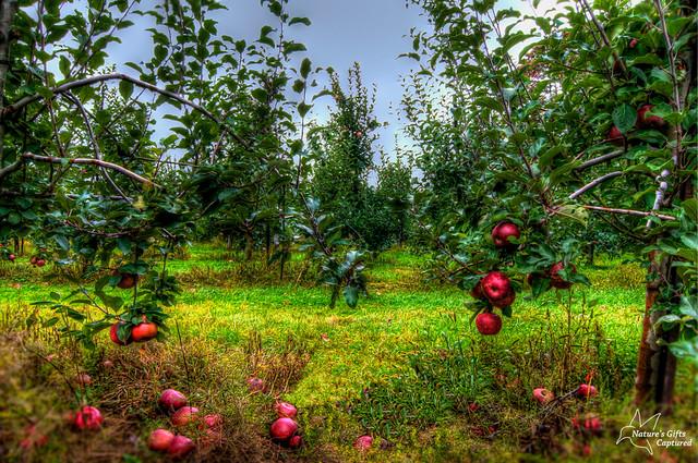 ~ Apple Orchard 2012 ~
