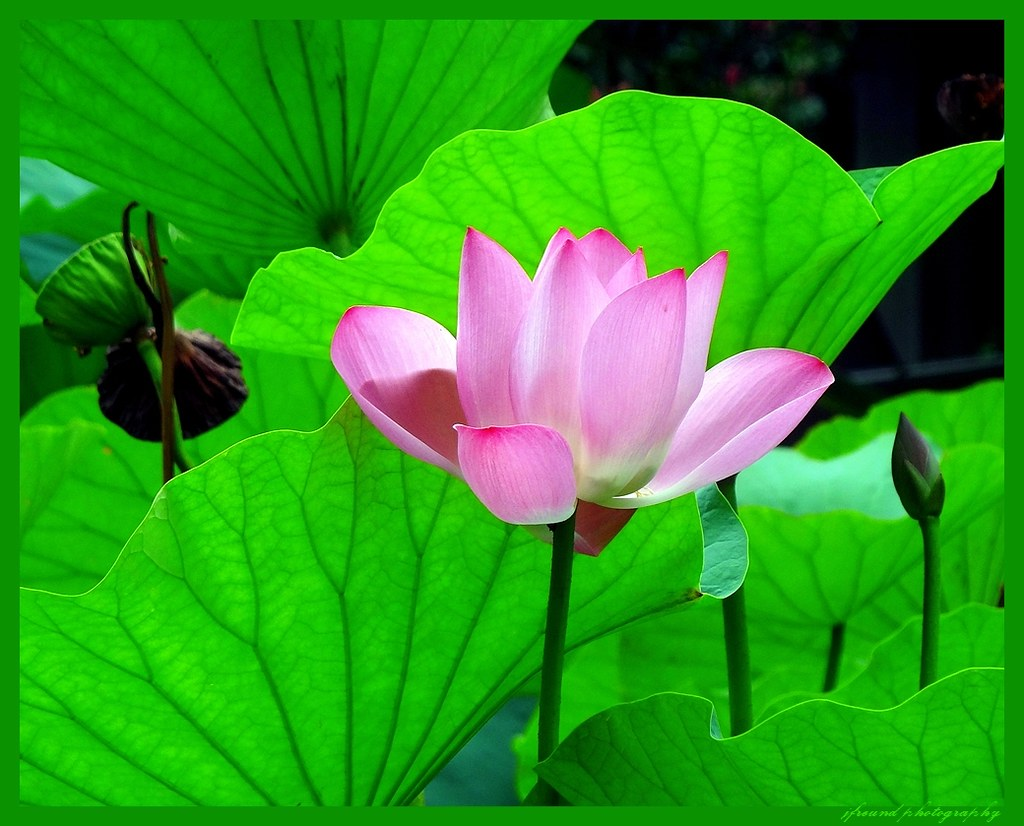 Lotus Flowers Grow Out Of The Mud Pure And Clean Like Mor Flickr