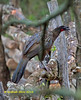Dusky-legged  Guan,      Pava Oscura,   Penelope obscura, by Graham Ekins