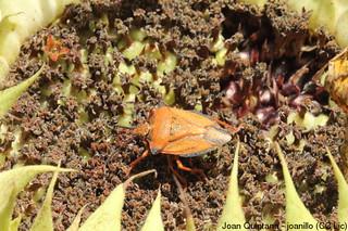 Carpocoris mediterraneus (confirmation needed)   by Joan Quintana (joanillo)