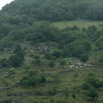 Schafe entlang dem Rhein