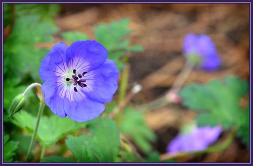 blue flower nature garden october seasons blossom pratense flickraward nikonflickraward