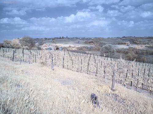 Prosecco vineyards IR | by Mauro Rado