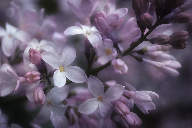 The beauty of the Lilac Flowers . . .