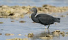 On the hunt #1 - Eastern Reef Egret by patrickkavanagh