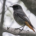 Black Redstart - Photo (c) Bernd Thaller, some rights reserved (CC BY)