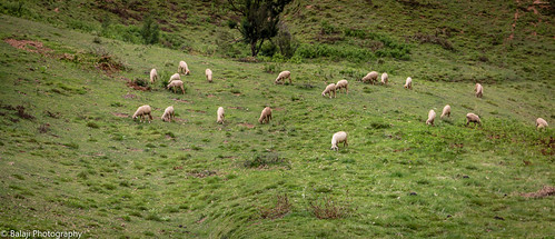 kodaikanal tamilnadu india in goat goatfarming grazing goatsgrazing green hillstation hill stationsummervacationindia travelincredible indiaindia tourismindian photo