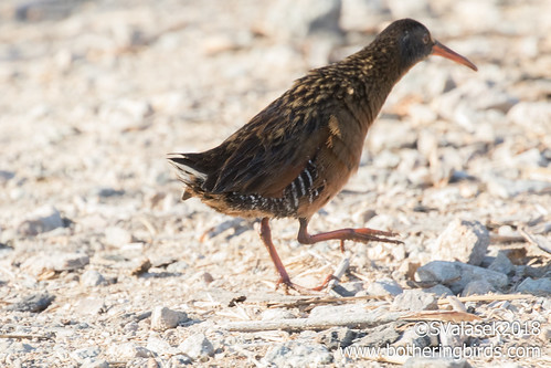 Virginia Rail | by Bothering Birds